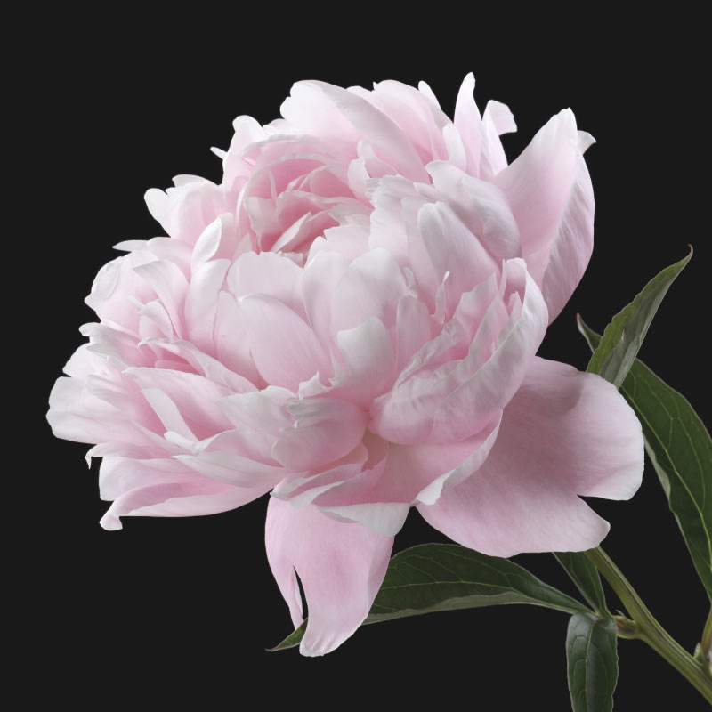 Pink-Peony-Rose-for-Web