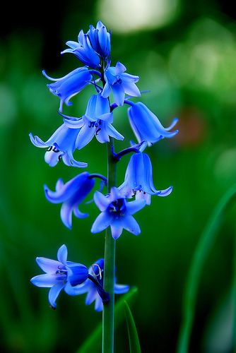 92161b4549636065d8cec8efea5d9c98--blue-flowers-blue-flower-names[1]